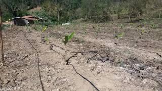 Banana da terra irrigada no gotejo