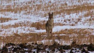 getlinkyoutube.com-Coyote Hunt 2015 (ND)