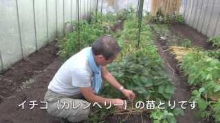 菜園だより130607イチゴ育苗