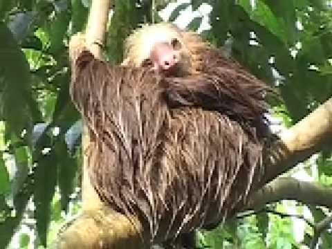 Sloths of Costa Rica