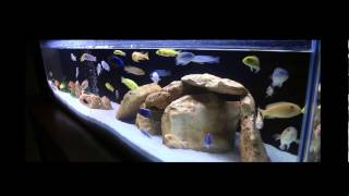 getlinkyoutube.com-African cichlid aquarium