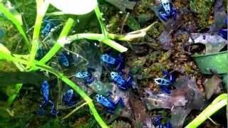 21 Azureus Dart Frogs at feeding time