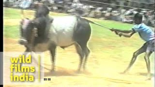 getlinkyoutube.com-The great Indian bull fight