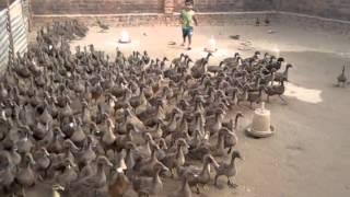 getlinkyoutube.com-Duck farm lucknow 9235662893
