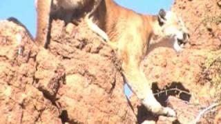 getlinkyoutube.com-AZ Dry Ground Mt. Lion Hunt - March '09