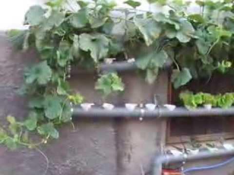 Melones y Lechugas Hidroponicas creciendo.