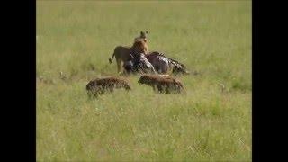getlinkyoutube.com-Lions on a Buffalo Vs. Hyenas, Jackals and Vultures