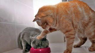 СМЕШНОЕ ВИДЕО ПРО КОШЕК 2016/  FUNNY VIDEOS ABOUT CATS 2016