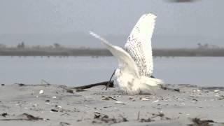 getlinkyoutube.com-Snowy Owl vs. Peregrine Falcon