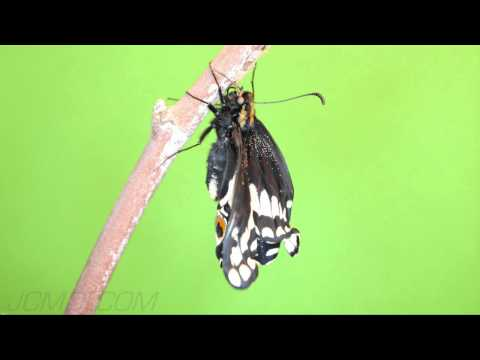 Greenscreen Indra Swallowtail Butterfly expanding wings (2/4) HD V09295