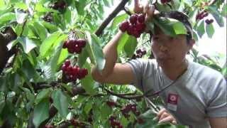 getlinkyoutube.com-Cherries Picking 2012 (FULL HD 1080p) Đi hái Cherry ở Úc Châu 2012
