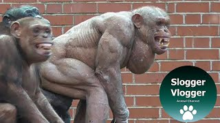 getlinkyoutube.com-The 'Clash' Of The 'Naked' Chimps