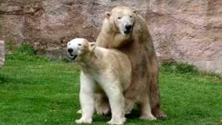 getlinkyoutube.com-Bei  den Eisbären Vera und Felix liegt WAS in der Luft! ;-) :-)  - Mai 2010 - Tiergarten Nürnberg