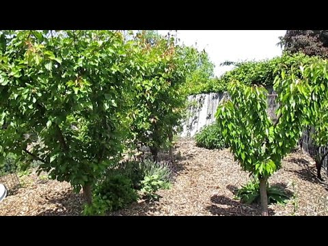 Developing A Strong & Sturdy Fruit Tree Structure