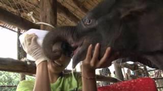 getlinkyoutube.com-แม่ช้างจะฆ่าลูก