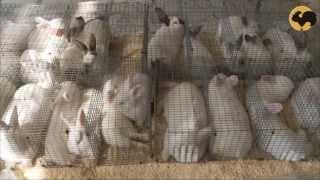 Породы кроликов: новозеландский, калифорнийский, бельгийский