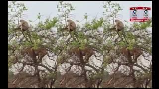''एक पेड़ पर Monkey और Tiger'' सूझ-बूझ ने ताकत को हराया
