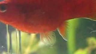 getlinkyoutube.com-Aquarium Domi : naissance platy