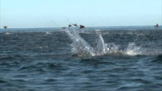 getlinkyoutube.com-Manta Rays Jumping