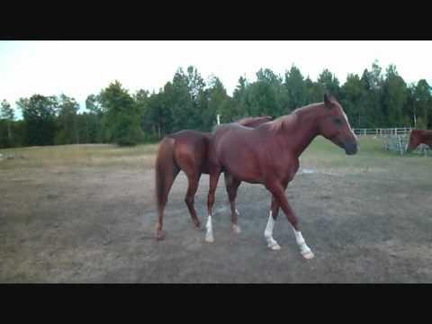 Equine Behaviour..Mare breeds Mare