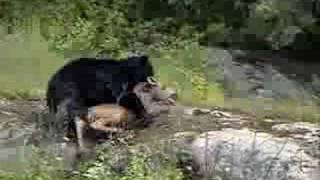 getlinkyoutube.com-Bear Kills Moose