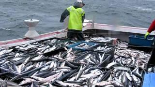 getlinkyoutube.com-mackerel fishing near Port Hood aboard....itsnowornevertunacharters