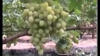 getlinkyoutube.com-Виноград-перспективные сорта 2013г