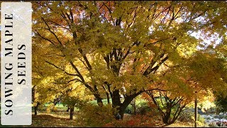 How to Sow Maple Seeds Successfully width=