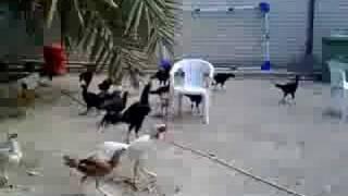 getlinkyoutube.com-حديقة لتربيه دجاج الهندي و التايلندي المقاتل ( المجاول )