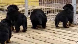 getlinkyoutube.com-Rottweiler puppies 4 weeks old