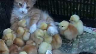 Самые милые цыплята и котёнок