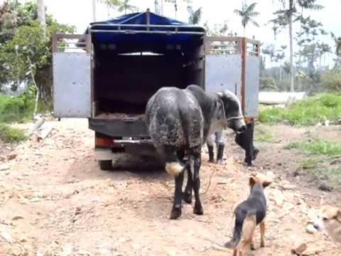llegada de toro patron GIROLANDO