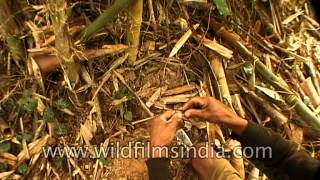getlinkyoutube.com-Hunters make a bird trap in Nagaland