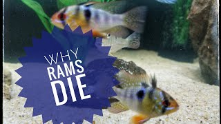 getlinkyoutube.com-Why German Blue Rams Die