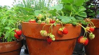 getlinkyoutube.com-كيفية زراعة الفراولة في المنزل