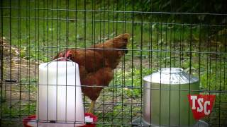 Chicken Bullying
