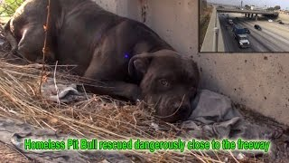 getlinkyoutube.com-Hope For Paws: Homeless Pit Bull rescued dangerously close to the freeway.