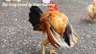 getlinkyoutube.com-Serama Zam Subang - rooster Zip King preparing for Kenyir Lake 2015