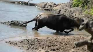 getlinkyoutube.com-Noble Wildebeest vs. Massive Crocodile