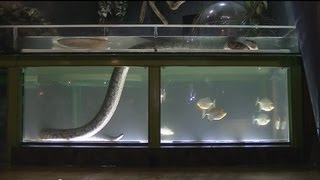 getlinkyoutube.com-ニシキヘビとアロワナの混泳水槽 / Arowana & Python in same tank