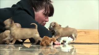 getlinkyoutube.com-Chihuahua Puppies 9th April 2016