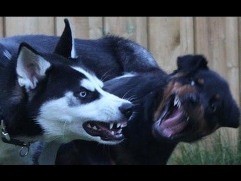 Rottweiler vs amstaff vs pitbull killer child