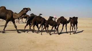 getlinkyoutube.com-بعير ابن شعف المسعري الدوسري وانتاجه (حرصان )2.