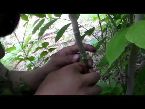 orah kalemljenje cijepljenje pup grafting walnuts