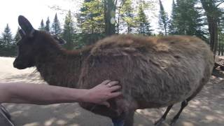 Removing Wapiti's Winter Coat