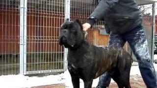 getlinkyoutube.com-Presa canario {Atos Dog PUR VS Jabbar CUSTODI NOS } Cane corso