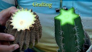 getlinkyoutube.com-How to Graft big cactus plant