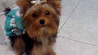 Yorkshire inteligente memorizou seus brinquedos - Vicky Nina - Yorkshire Terrier