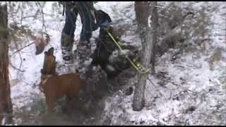 Colorado bobcat hunting with hounds 3