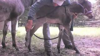 getlinkyoutube.com-One week old baby donkey learning touch and leading. Imprinting training tips